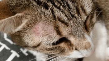Haaruitval bij katten (kat alopcecia)