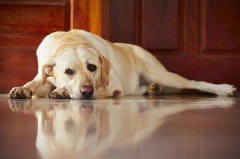Hond geeft over Featured Image