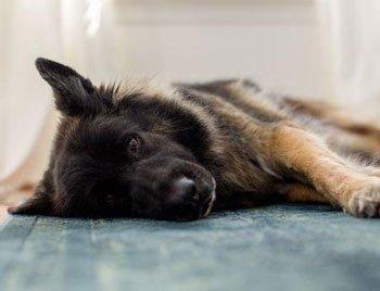 Ziekte van Addison hond Featured Image