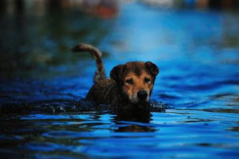 Ziekte van Weil hond Featured Image