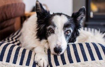 Artrose bij honden Featured Image
