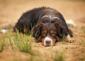 Darmontsteking hond: dit kun je doen