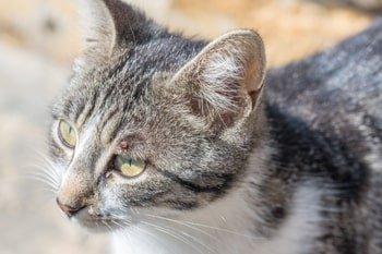 Alles over een teek verwijderen bij kat Featured Image
