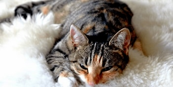 Pijnstillers voor katten Featured Image