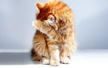 Allergie bij katten Featured Image